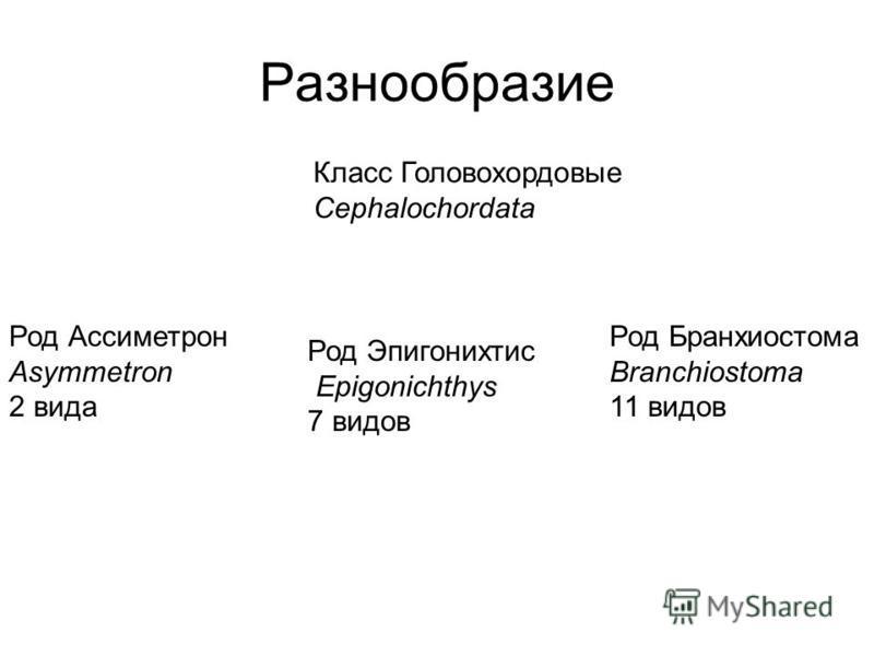 Разнообразие Род Ассиметрон Asymmetron 2 вида Род Эпигонихтис Epigonichthys 7 видов Род Бранхиостома Branchiostoma 11 видов Класс Головохордовые Cephalochordata