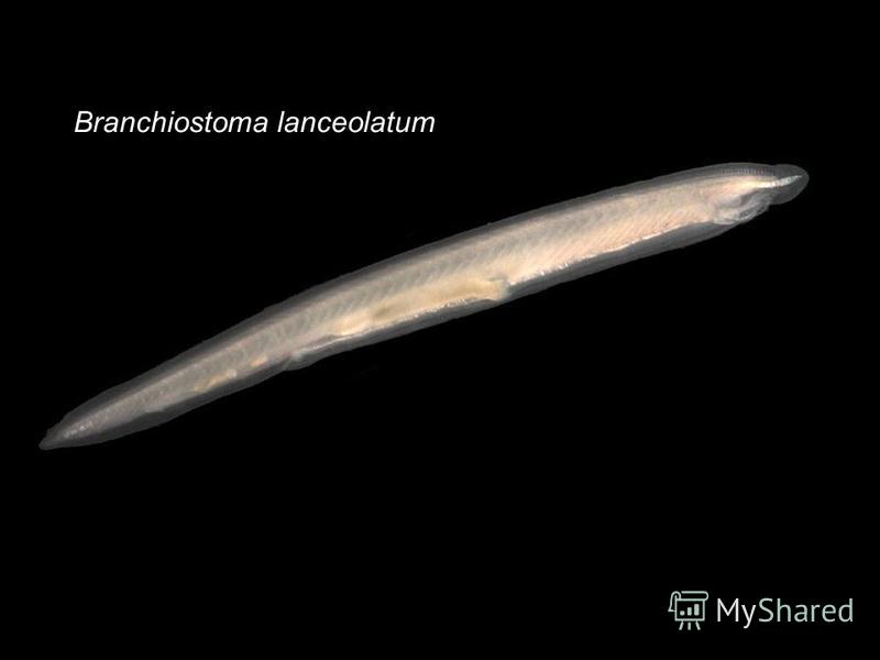 Branchiostoma lanceolatum