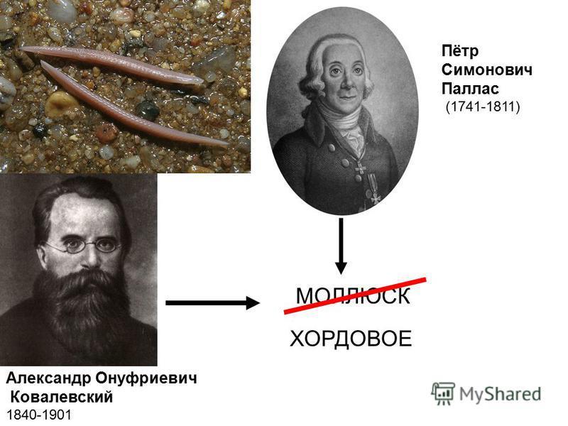 Пётр Симонович Паллас (1741-1811) Александр Онуфриевич Ковалевский 1840-1901 МОЛЛЮСК ХОРДОВОЕ