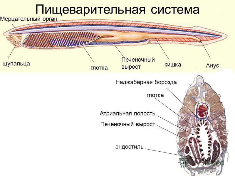 Пищеварительная система Анус кишка глотка Печеночный вырост щупальца Мерцательный орган Закрытые щупальца вид с брюшной стороны глотка Печеночный вырост Атриальная полость эндостиль Наджаберная борозда
