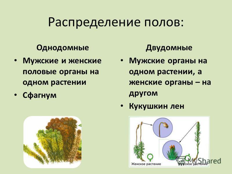 Распределение полов: Однодомные Мужские и женские половые органы на одном растении Сфагнум Двудомные Мужские органы на одном растении, а женские органы – на другом Кукушкин лен