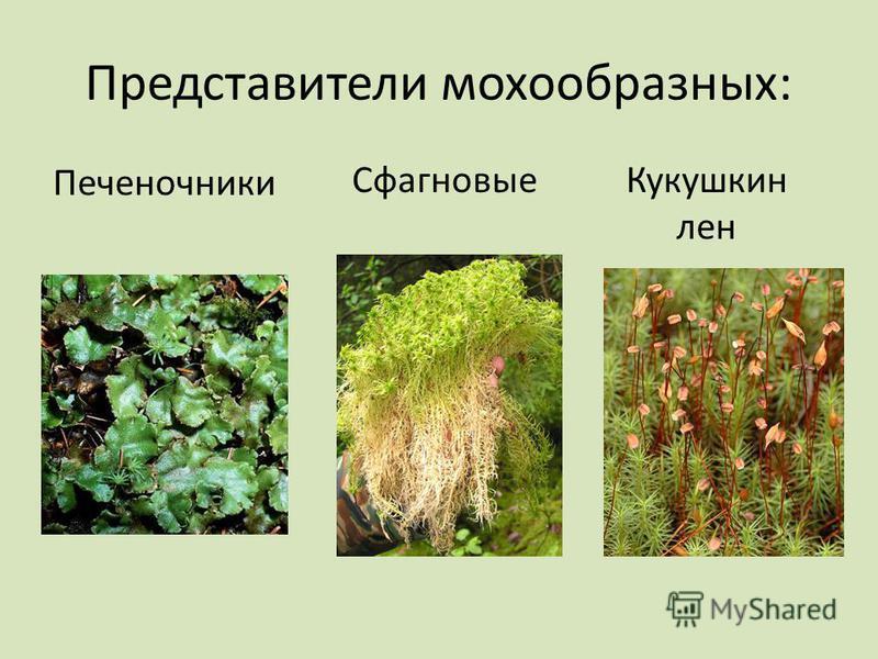 Представители мохообразных: Печеночники Сфагновые Кукушкин лен