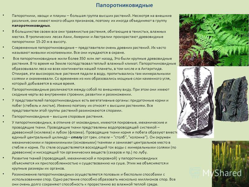 Папоротники, хвощи и плауны – большая группа высших растений. Несмотря на внешние различия, они имеют много общих признаков, поэтому их иногда объединяют в группу папоротниковидных. В большинстве своем все они травянистые растения, обитающие в тенист