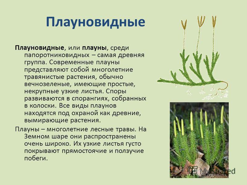 Плауновидные Плауновидные, или плауны, среди папоротниковидных – самая древняя группа. Современные плауны представляют собой многолетние травянистые растения, обычно вечнозеленые, имеющие простые, некрупные узкие листья. Споры развиваются в спорангия