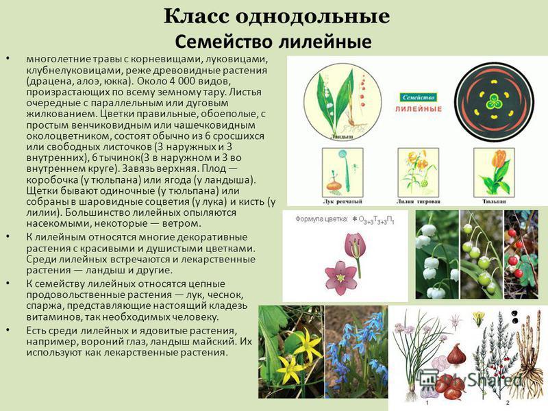Класс однодольные Семейство лилейные многолетние травы с корневищами, луковицами, клубнелуковицами, реже древовидные растения (драцена, алоэ, юкка). Около 4 000 видов, произрастающих по всему земному тару. Листья очередные с параллельным или дуговым