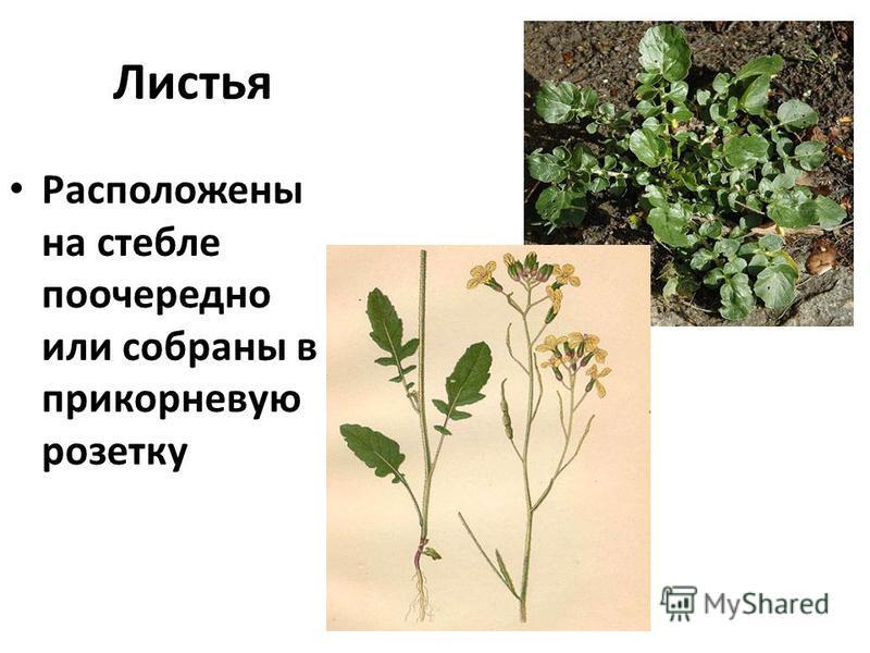 Листья Расположены на стебле поочередно или собраны в прикорневую розетку