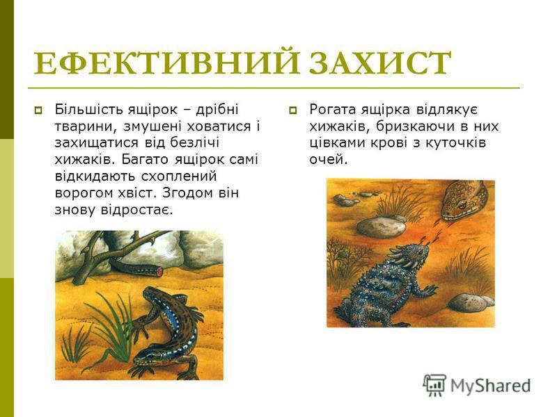 ЕФЕКТИВНИЙ ЗАХИСТ Більшість ящірок – дрібні тварини, змушені ховатися і захищатися від безлічі хижаків. Багато ящірок самі відкидають схоплений ворогом хвіст. Згодом він знову відростає. Рогата ящірка відлякує хижаків, бризкаючи в них цівками крові з