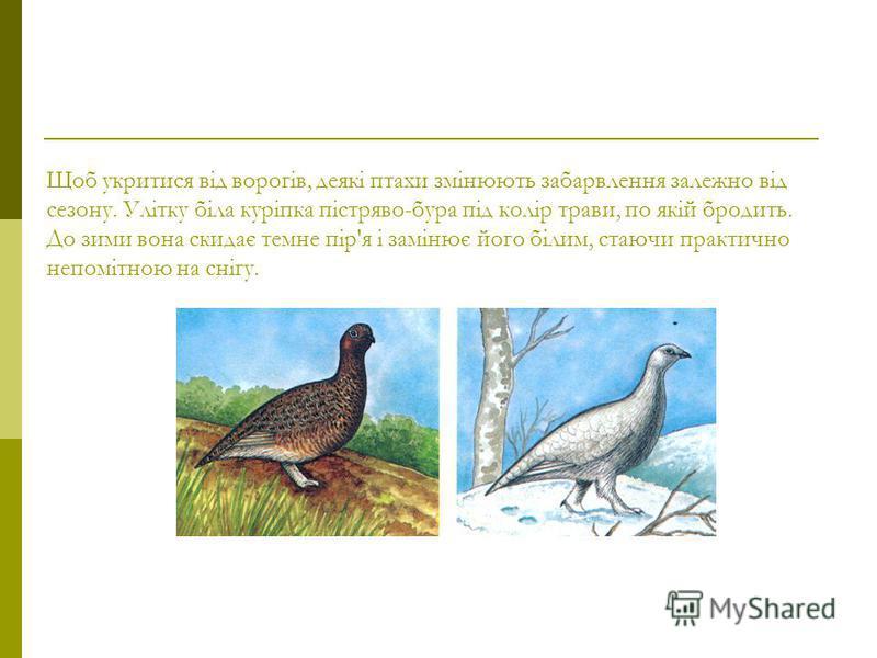 Щоб укритися від ворогів, деякі птахи змінюють забарвлення залежно від сезону. Улітку біла куріпка пістряво-бура під колір трави, по якій бродить. До зими вона скидає темне пір'я і замінює його білим, стаючи практично непомітною на снігу.