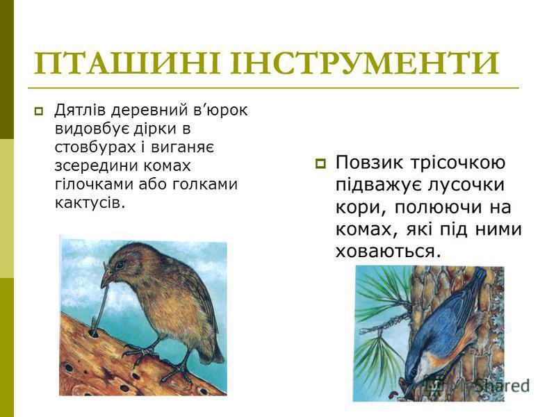 ПТАШИНІ ІНСТРУМЕНТИ Дятлів деревний вюрок видовбує дірки в стовбурах і виганяє зсередини комах гілочками або голками кактусів. Повзик трісочкою підважує лусочки кори, полюючи на комах, які під ними ховаються.