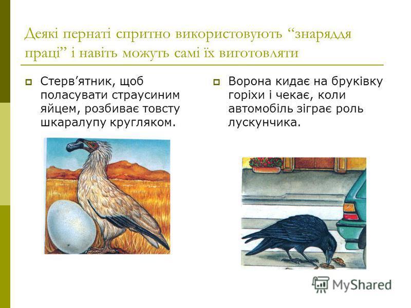Деякі пернаті спритно використовують знаряддя праці і навіть можуть самі їх виготовляти Стервятник, щоб поласувати страусиним яйцем, розбиває товсту шкаралупу кругляком. Ворона кидає на бруківку горіхи і чекає, коли автомобіль зіграє роль лускунчика.