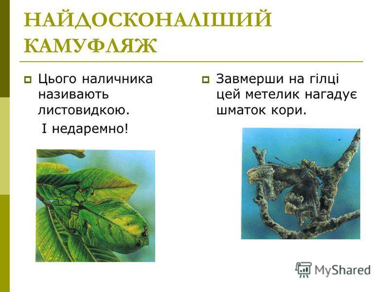НАЙДОСКОНАЛІШИЙ КАМУФЛЯЖ Цього наличника називають листовидкою. І недаремно! Завмерши на гілці цей метелик нагадує шматок кори.