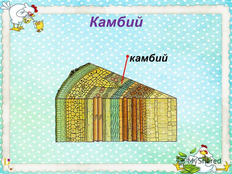 Камбий камбий