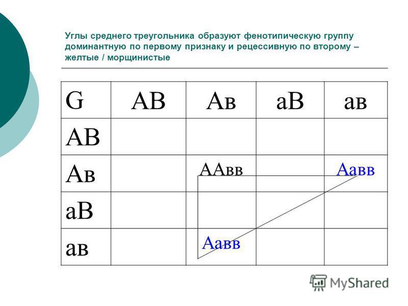 Углы среднего треугольника образуют фенотипическую группу доминантную по первому признаку и рецессивную по второму – желтые / мороинистые GАВАва Ва в АВ Ав ААвв Аа вв аВ а в Аа вв