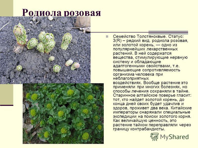 Родиола розовая Семейство Толстяноквые. Статус: 3(R) – редкий вид. родиола розовая, или золотой корень, одно из популярнейших лекарственных растений. В ней содержатся вещества, стимулирующие нервную систему и обладающие адаптогенными свойствами, т.е.