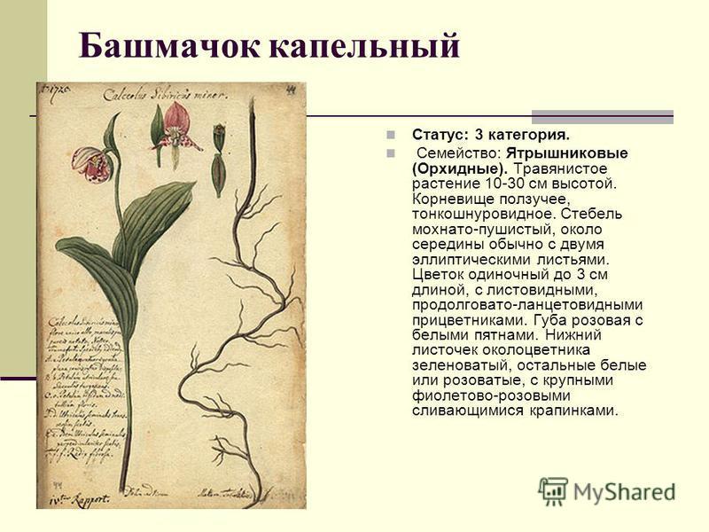 Башмачок капельный Статус: 3 категория. Семейство: Ятрышниковые (Орхидные). Травянистое растение 10-30 см высотой. Корневище ползучее, тонкошнуровидное. Стебель мохнато-пушистый, около середины обычно с двумя эллиптическими листьями. Цветок одиночный