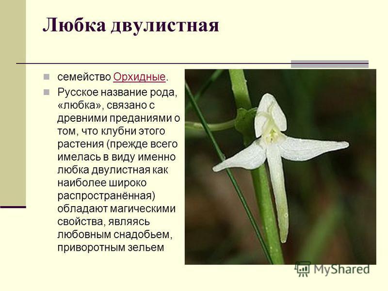 Любка двулистная семейство Орхидные.Орхидные Русское название рода, «любка», связано с древними преданиями о том, что клубни этого растения (прежде всего имелась в виду именно любка двулистная как наиболее широко распространённая) обладают магическим
