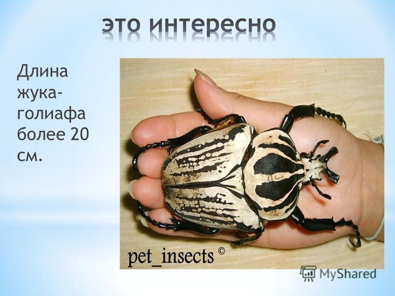 Длина жука- голиафа более 20 см.