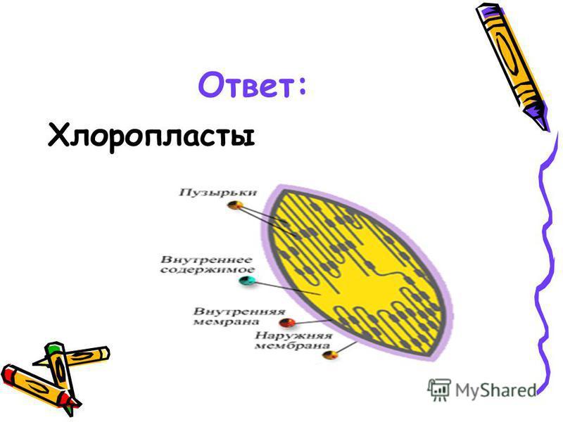 Ответ: Хлоропласты