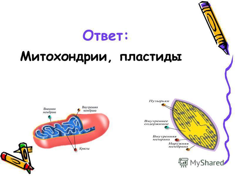Ответ: Митохондрии, пластиды