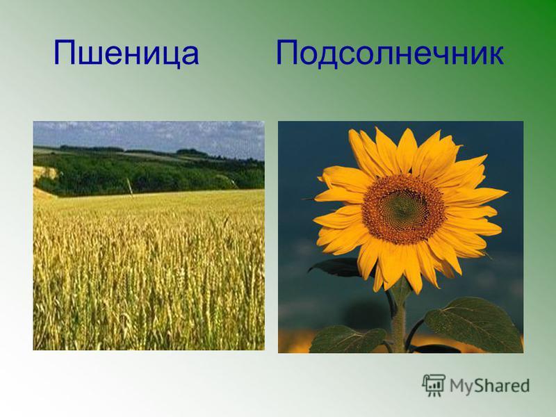 Пшеница Подсолнечник