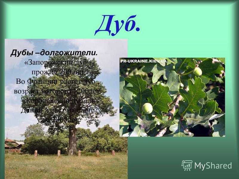 Дуб. Дубы –долгожители. «Запорожский дуб» прожил 700 лет. Во Франции растет дуб, возраст которого 1200 лет. «Королевский дуб» в Дании живет на свете уже 2000 лет