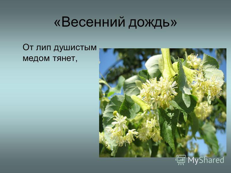 «Весенний дождь» От лип душистым медом тянет,