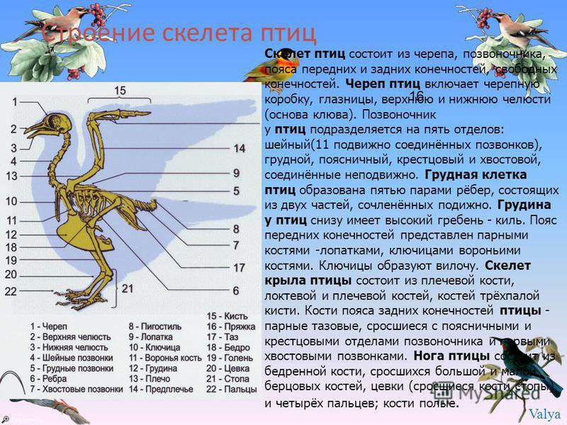 отделы скелета у птиц мам термобелье Janus