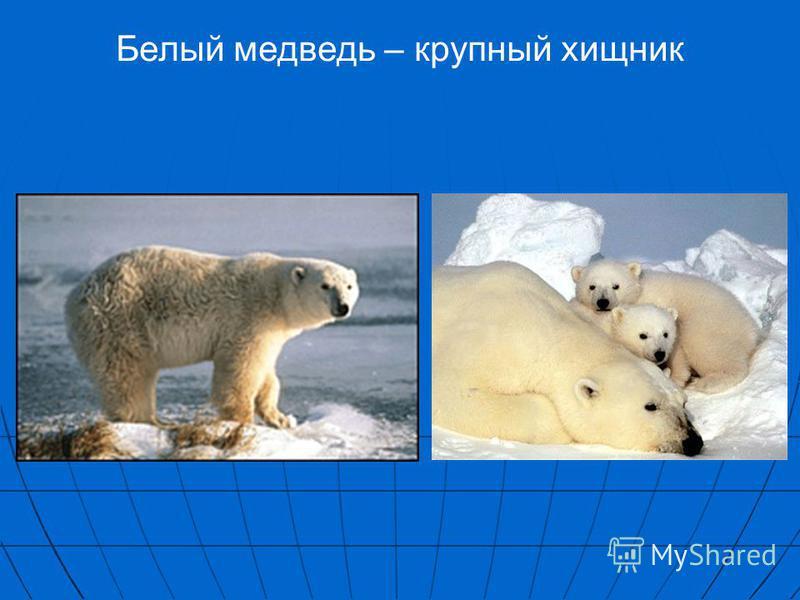 Белый медведь – крупный хищник
