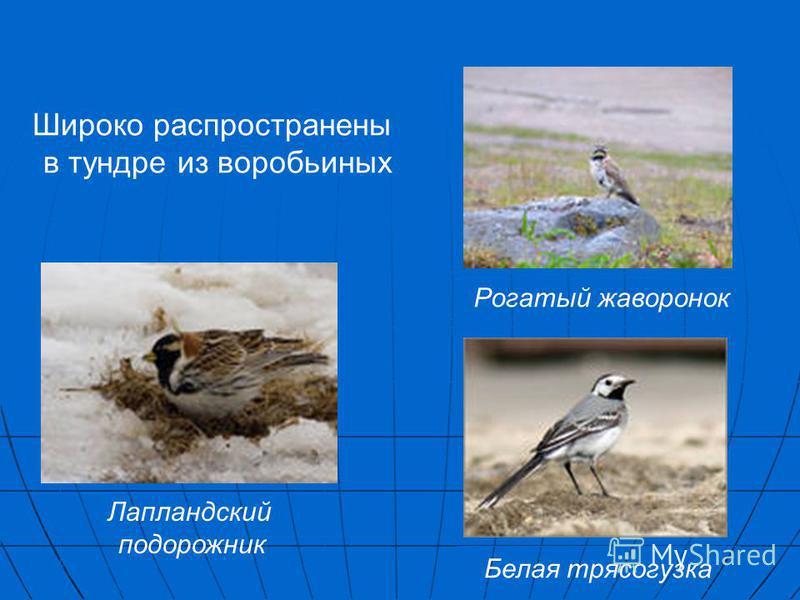 Лапландский подорожник Рогатый жаворонок Белая трясогузка Широко распространены в тундре из воробьиных