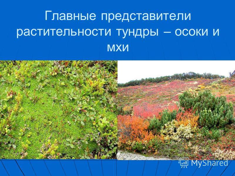Главные представители растительности тундры – осоки и мхи