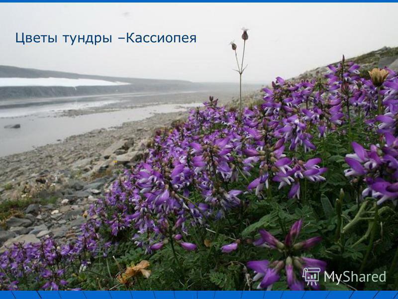 Цветы тундры –Кассиопея