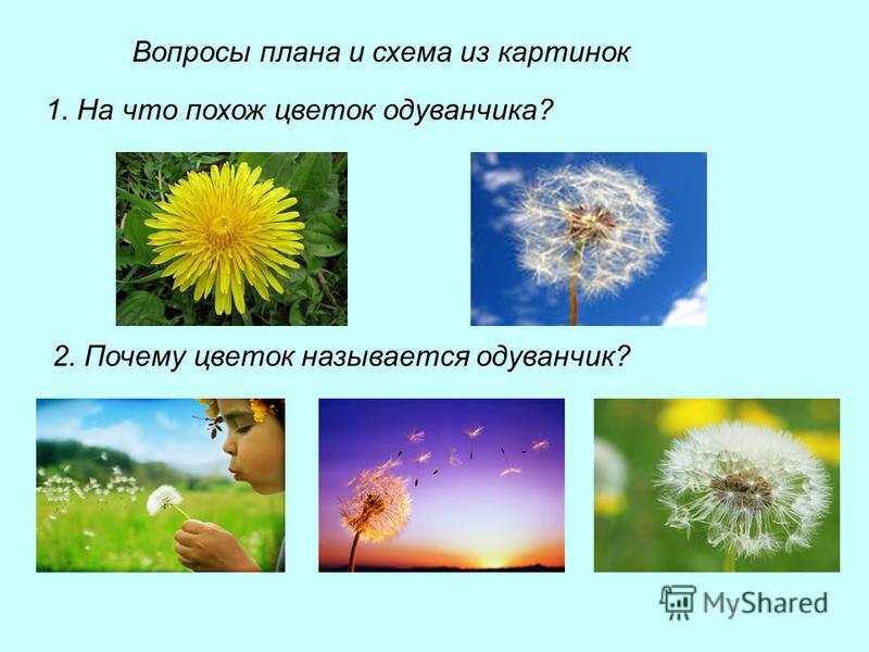Вопросы плана и схема из картинок 1. На что похож цветок одуванчика? 2. Почему цветок называется одуванчик?