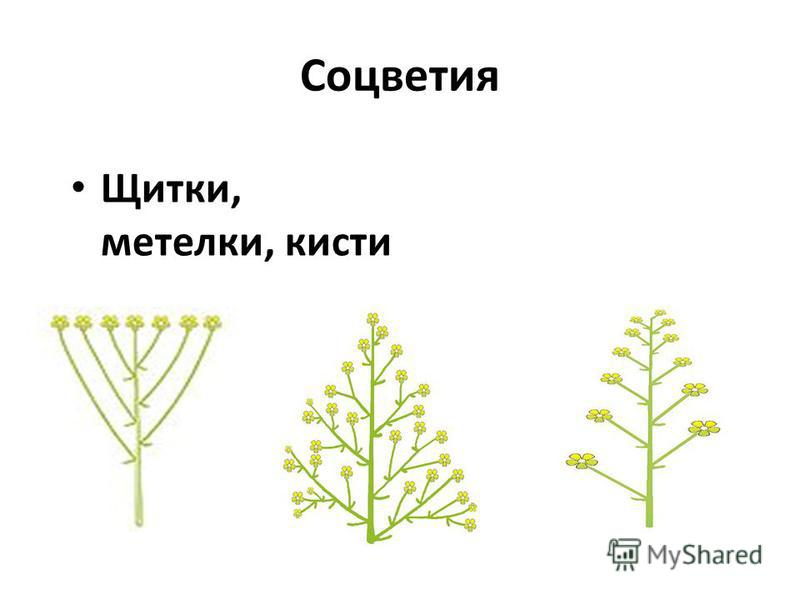 Соцветия Щитки, метелки, кисти