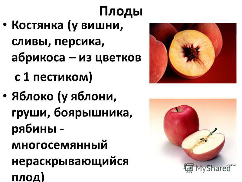 Плоды Костянка (у вишни, сливы, персика, абрикоса – из цветков с 1 пестиком) Яблоко (у яблони, груши, боярышника, рябины - многосемянный нераскрывающийся плод)
