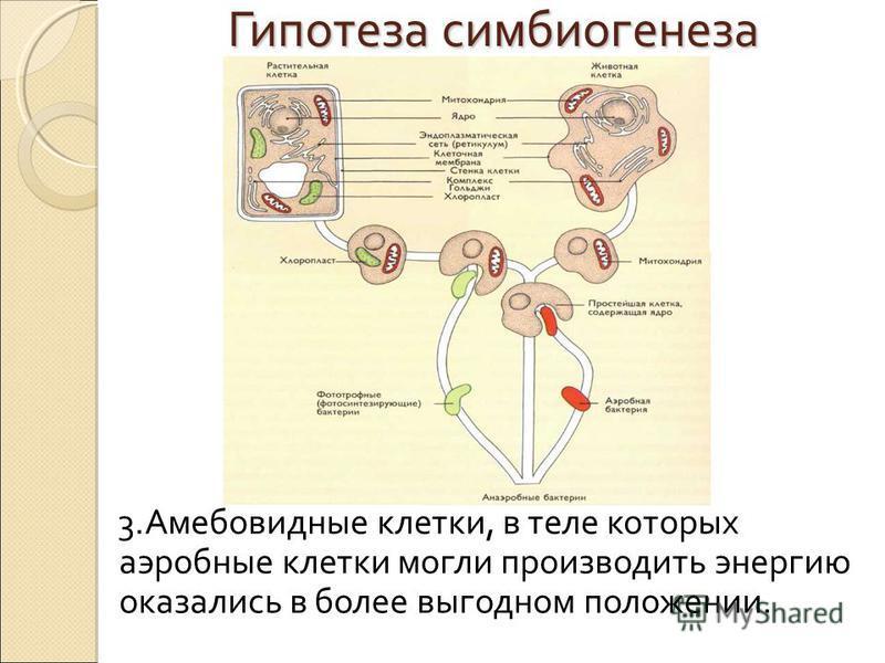 Гипотеза симбиогенеза 3. Амебовидные клетки, в теле которых аэробные клетки могли производить энергию оказались в более выгодном положении.
