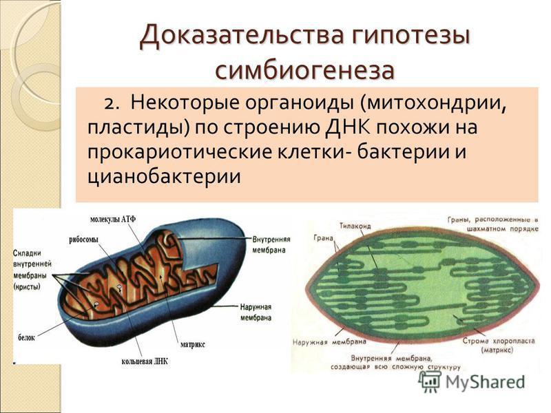 Доказательства гипотезы симбиогенеза 2. Некоторые органоиды (митохондрии, пластиды) по строению ДНК похожи на прокариотические клетки- бактерии и цианобактерии