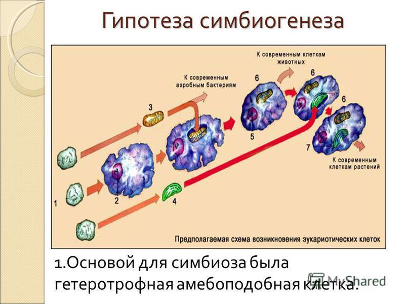 Гипотеза симбиогенеза 1. Основой для симбиоза была гетеротрофная амебоподобная клетка.
