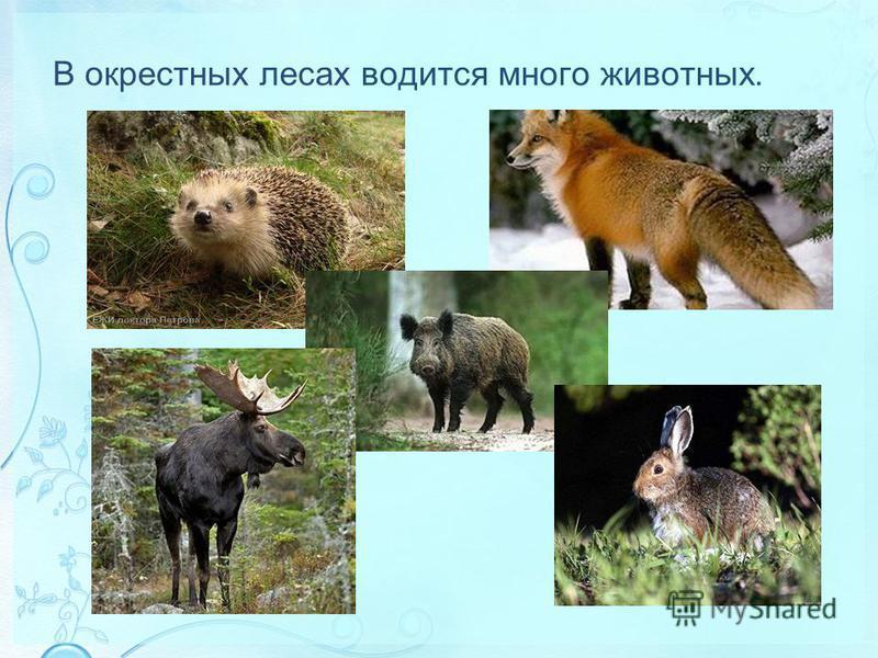 В окрестных лесах водится много животных.