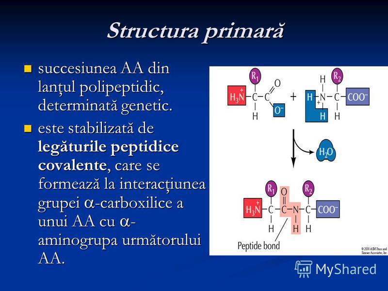 Structura primară succesiunea AA din lanţul polipeptidic, determinată genetic. succesiunea AA din lanţul polipeptidic, determinată genetic. este stabilizată de legăturile peptidice covalente, care se formează la interacţiunea grupei -carboxilice a un