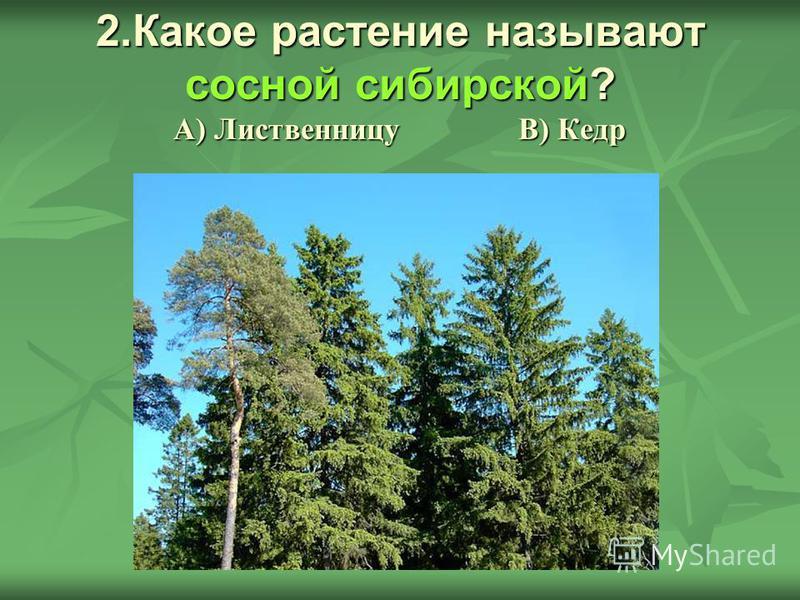 2. Какое растение называют сосной сибирской? А) Лиственницу В) Кедр