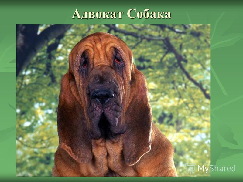 Адвокат Собака