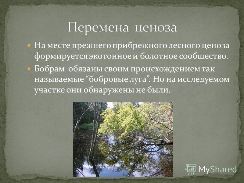 На месте прежнего прибрежного лесного ценоза формируется экотоне и болотное сообщество. Бобрам обязаны своим происхождением так называемые бобровые луга. Но на исследуемом участке они обнаружены не были.