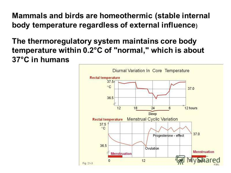 Mammals and birds are homeothermic (stable internal body temperature regardless of external influence ) The thermoregulatory system maintains core body temperature within 0.2°C of normal, which is about 37°C in humans