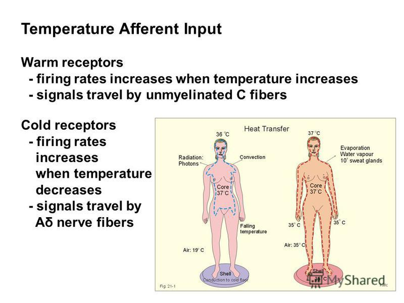 Temperature Afferent Input Warm receptors - firing rates increases when temperature increases - signals travel by unmyelinated C fibers Cold receptors - firing rates increases when temperature decreases - signals travel by Aδ nerve fibers