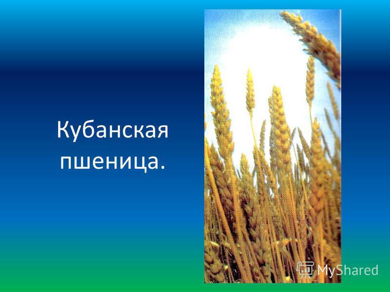 Кубанская пшеница.