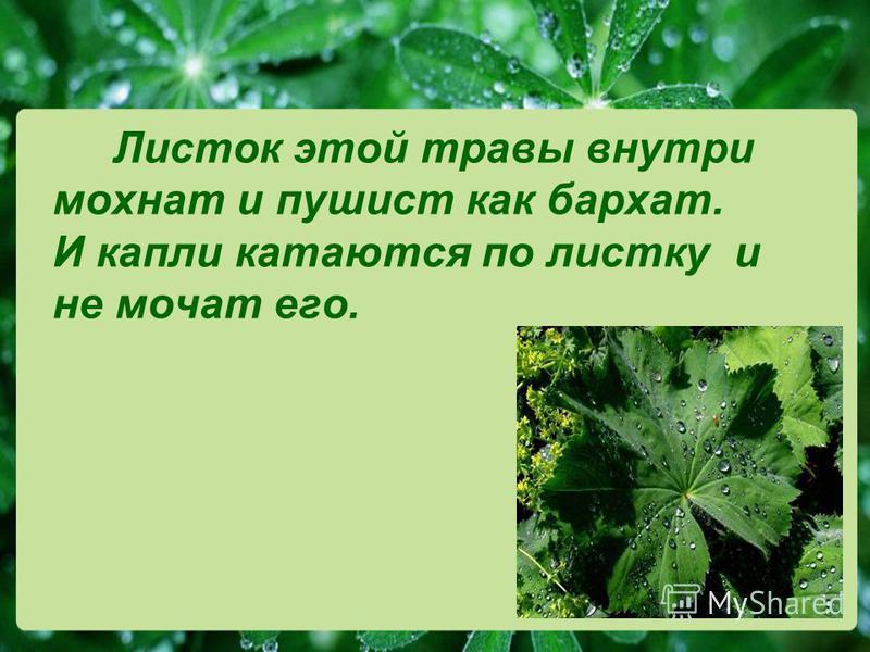 Листок этой травы внутри мохнат и пушист как бархат. И капли катаются по листку и не мочат его.