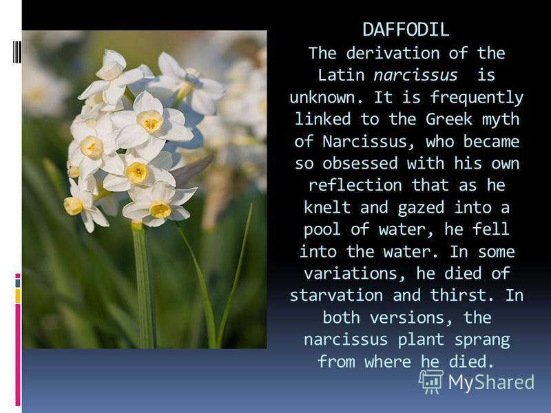DAFFODIL The derivation of the Latin narcissus is unknown. It is frequently linked to the Greek myth of Narcissus, who became so obsessed with his own reflection that as he knelt and gazed into a pool of water, he fell into the water. In some variati