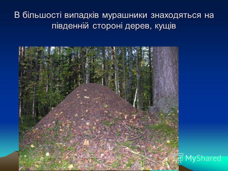 В більшості випадків мурашники знаходяться на південній стороні дерев, кущів