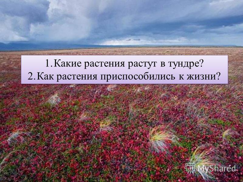 1. Какие растения растут в тундре? 2. Как растения приспособились к жизни? 1. Какие растения растут в тундре? 2. Как растения приспособились к жизни?