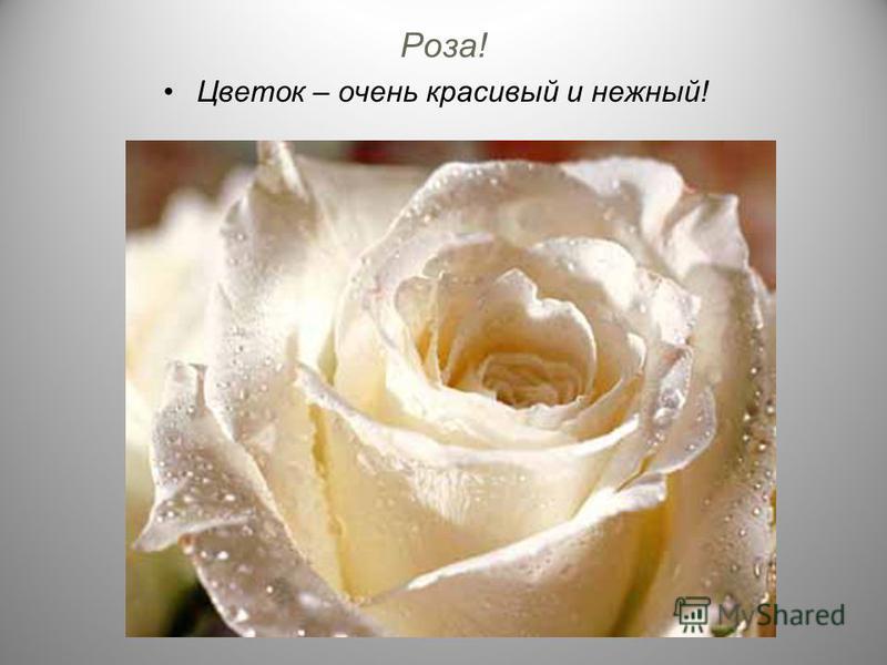 Роза! Цветок – очень красивый и нежный!